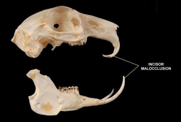 Rabbit skull tooth pathology.jpg
